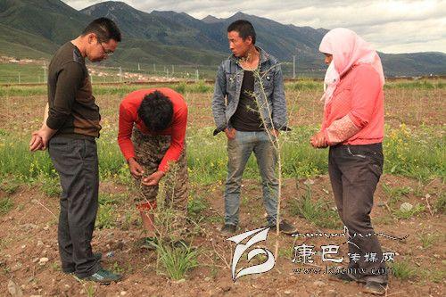 石渠洛须调整农业产业结构进行时(下)