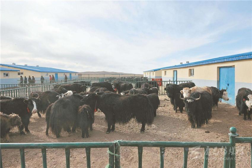 """牦牛产业园让牧民日子""""牛""""起来"""